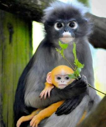 dusky langur and infant
